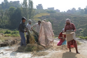 Rice harvest and threshing in front of my home.