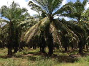 Palm oil plantations like this one line Malaysia's super highways for hundreds of miles. © Donatella Lorch