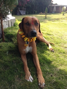 My dog, Biko, gets worshipped on Kukur Puja, and receives a garland, a Tikka and sweet rice cakes. © Donatella Lorch