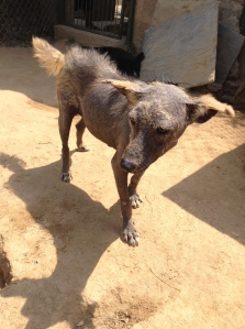 Jade has mange that has not responded to medical treatment. ©Donatella Lorch