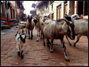 Kathmandu Valley streets are a free range for all animals of all sizes.