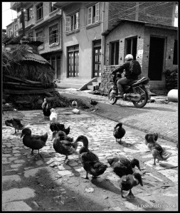 Ubiquitous ducks in certain neighborhoods can make driving tricky. © Donatella Lorch