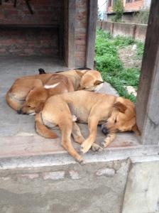 Kathmandu's 20,000 stray dog are an integer; part of the city ©Donatella Lorch